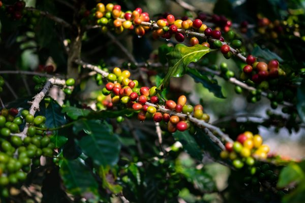 Ripen Coffee fruits on branch ready to harvest